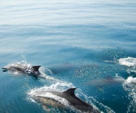 Vilamoura - dolphins @Wikimedia.org