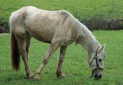 Cavalo-Lusitano-c-Alvesgaspar-@-Commons_Wikimedia